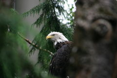 Bald Eagle. American bald eagle perched in a pine tree Royalty Free Stock Photography