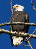 Bald Eagle. Perched on a tree branch Royalty Free Stock Image