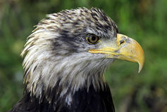 Bald Eagle Stock Images