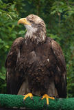 Bald Eagle. Portrait in Alaska Royalty Free Stock Photography