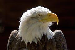 Bald Eagle. Close up of a Bald eagles head Stock Photos