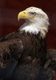 Bald Eagle. Majestic Bald Eagle Portrait In Profile Royalty Free Stock Image