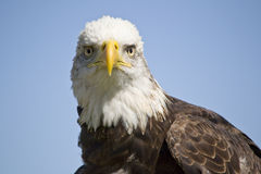 Bald Eagle. Young bald eagle looking directly at camera Stock Photo