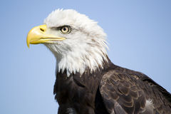 Bald Eagle. Young bald eagle looking around Royalty Free Stock Image