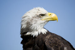 Bald Eagle. Young bald eagle looking around Royalty Free Stock Photography
