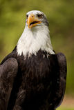 Bald eagle. Portrait of bald eagle with green nature background Stock Image