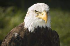 Bald eagle. Close view of a bald eagle Royalty Free Stock Image