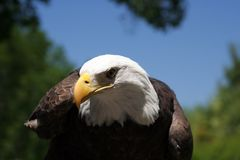 Bald Eagle 2. Bald eagle with blue sky in the background Royalty Free Stock Photo