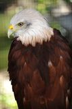 Bald eagle. Perched on a tree branch Stock Photos