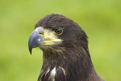 Bald eagle. Head detail royalty free stock images