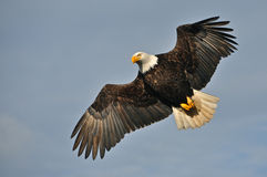 Bald eagle. Mature bald eagle in flight Royalty Free Stock Images