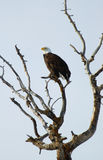 Bald eagle. A lone bald eagle perches itself high on a tall tree branch royalty free stock photo