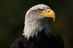 Bald Eagle. Portrait of a Bald Eagle Stock Image