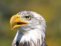 Bald eagle. Face of bald eagle in nature Royalty Free Stock Photography