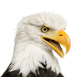 Bald Eagle (22 years) - Haliaeetus leucocephalus Royalty Free Stock Photo