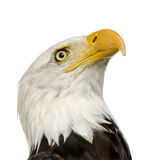 Bald Eagle (22 years) - Haliaeetus leucocephalus. In front of a white background Stock Photography
