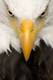 Bald Eagle (22 years) - Haliaeetus leucocephalus Stock Photo
