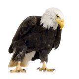 Bald Eagle (22 years) - Haliaeetus leucocephalus Royalty Free Stock Photography