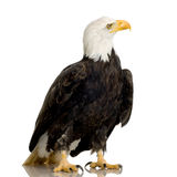 Bald Eagle (22 years) - Haliaeetus leucocephalus royalty free stock photo