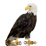 Bald Eagle (22 years) - Haliaeetus leucocephalus Stock Photos