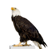 Bald Eagle (22 years) - Haliaeetus leucocephalus. In front of a white background Stock Images