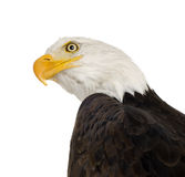 Bald Eagle (22 years) - Haliaeetus leucocephalus Royalty Free Stock Image