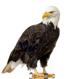 Bald Eagle (22 years) - Haliaeetus leucocephalus Stock Image