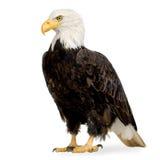 Bald Eagle (22 years) - Haliaeetus leucocephalus. In front of a white background Stock Photos