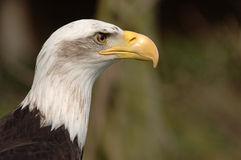 Bald Eagle. Portrait of a bald eagle in profile, with shallow depth of field. Horizontal format royalty free stock photos