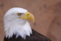 Bald Eagle. Portrait of a Bald Eagle (Haliaeetus leucocephalus Stock Photo