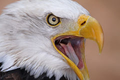 Bald Eagle. Calling - Haliaeetus leucocephalus Royalty Free Stock Photos