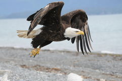 Bald Eagle. A bald American eagle flying off his driftwood in Homer, Alaska