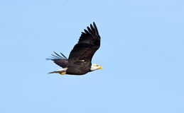 Bald Eagle. Stock Photos