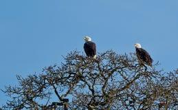 Bald Eagle. Stock Photos