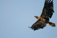 Bald Eagle. A juvenile bald eagle flying in a clear blue sky Royalty Free Stock Images