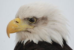 Bald Eagle. A bald American eagle face up close in Homer, Alaska Stock Image