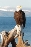 Bald Eagle. A bald American eagle sitting on a piece of driftwood in Homer, Alaska Stock Photography