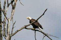 Bald Eagle. A Bald Eagle perched in a tree along side a highway in Northern Minnesota Royalty Free Stock Photography