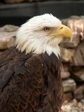 Bald Eagle. Closeup of bald eagle showing details in feathers Royalty Free Stock Images
