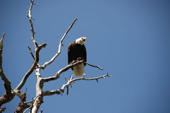 Bald eagle. Portrait of an american bald eagle in a bare tree branch stock photos