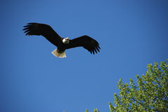 Bald Eagle. Soaring in blue sky, tree at bottom right of frame royalty free stock image
