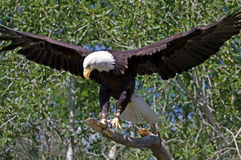 Bald Eagle. A bald eagle on a blue sky background with wings spread Stock Photography