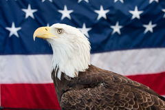 Bald Eagle. And the American flag in the background Stock Photo