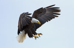 Bald eagle. A bald eagle about to land stock images