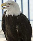 Bald Eagle. Perched bald eagle with open mouth Stock Photo
