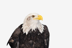 Bald Eagle. Isolated on white Royalty Free Stock Photography