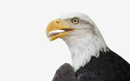 Bald Eagle. Isolated on white Royalty Free Stock Photos