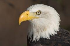 Bald Eagle. American Bald Eagle (Haliaeetus leucocephalus Stock Images