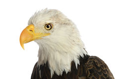 Bald Eagle. Head of bald eagle isolated over white background Stock Photos
