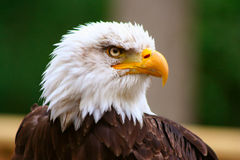 Free Bald Eagle  Royalty Free Stock Photography - 2673317